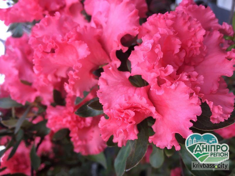 Квітучий сад зимою: Криворізький ботсад запрошує на парад азалій