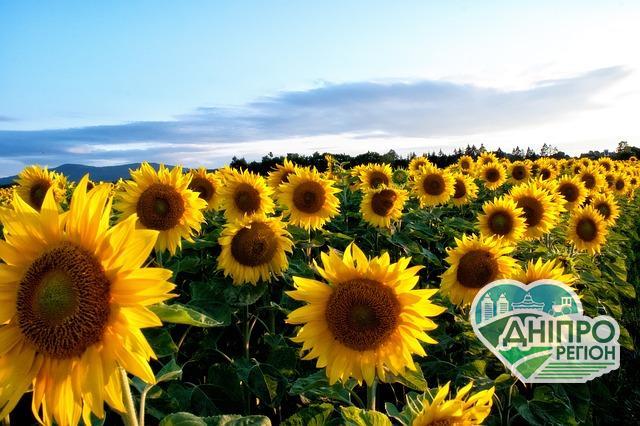 Експорт Україною олії соняшника зріс майже на 11%