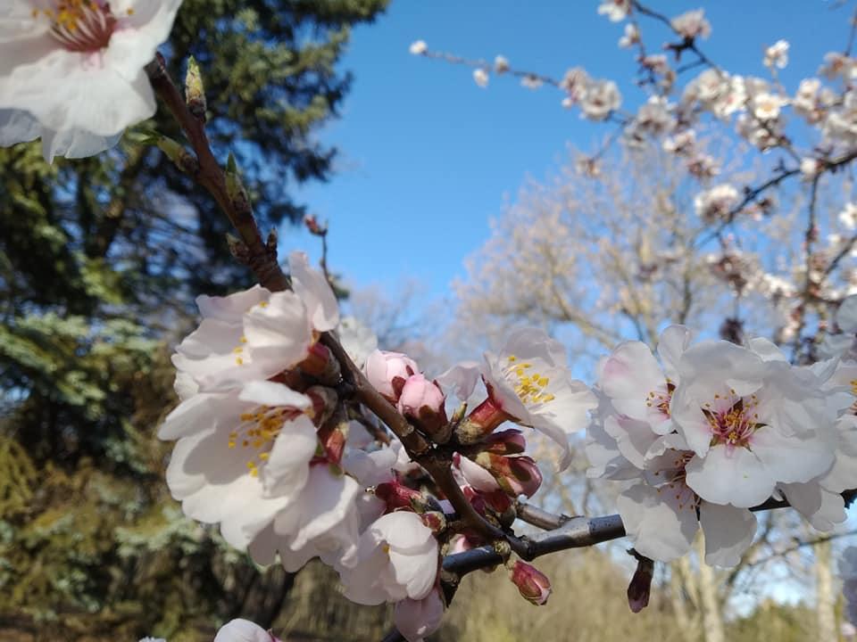 Prunus dulcis. Миндаль обыкновенный. 16.03.2020. ботанический сад ДНУ.