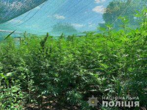 Незаконні посіви коноплі у Верхньодніпровську: Кваліфікація «аграріїв» зростає