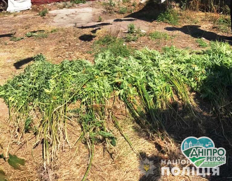 Непоганий урожай конопель виявили у мешканця Дніпропетровщини