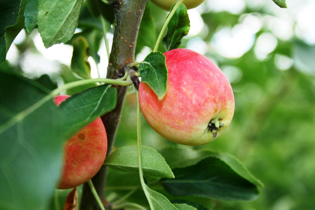 19 серпня Яблучний Спас: прикмети та традиції