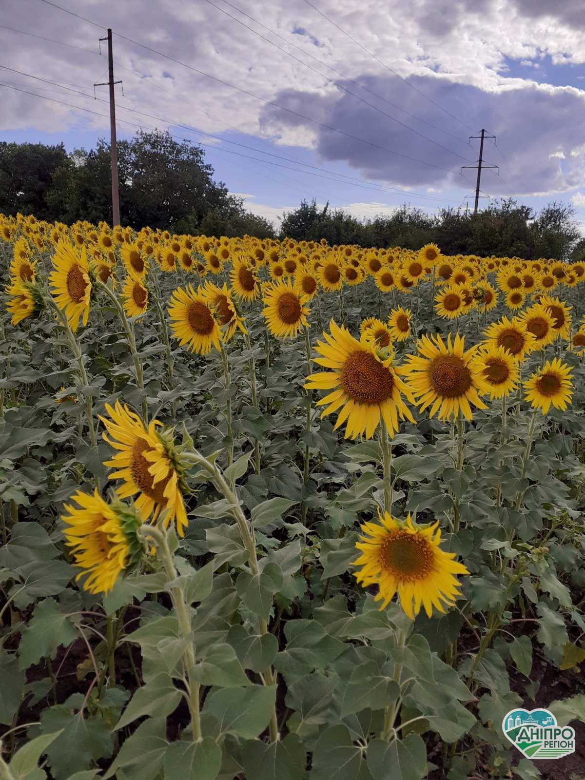 На Дніпропетровщині фермеру навмисно знищіли 68 га соняшника (відео)