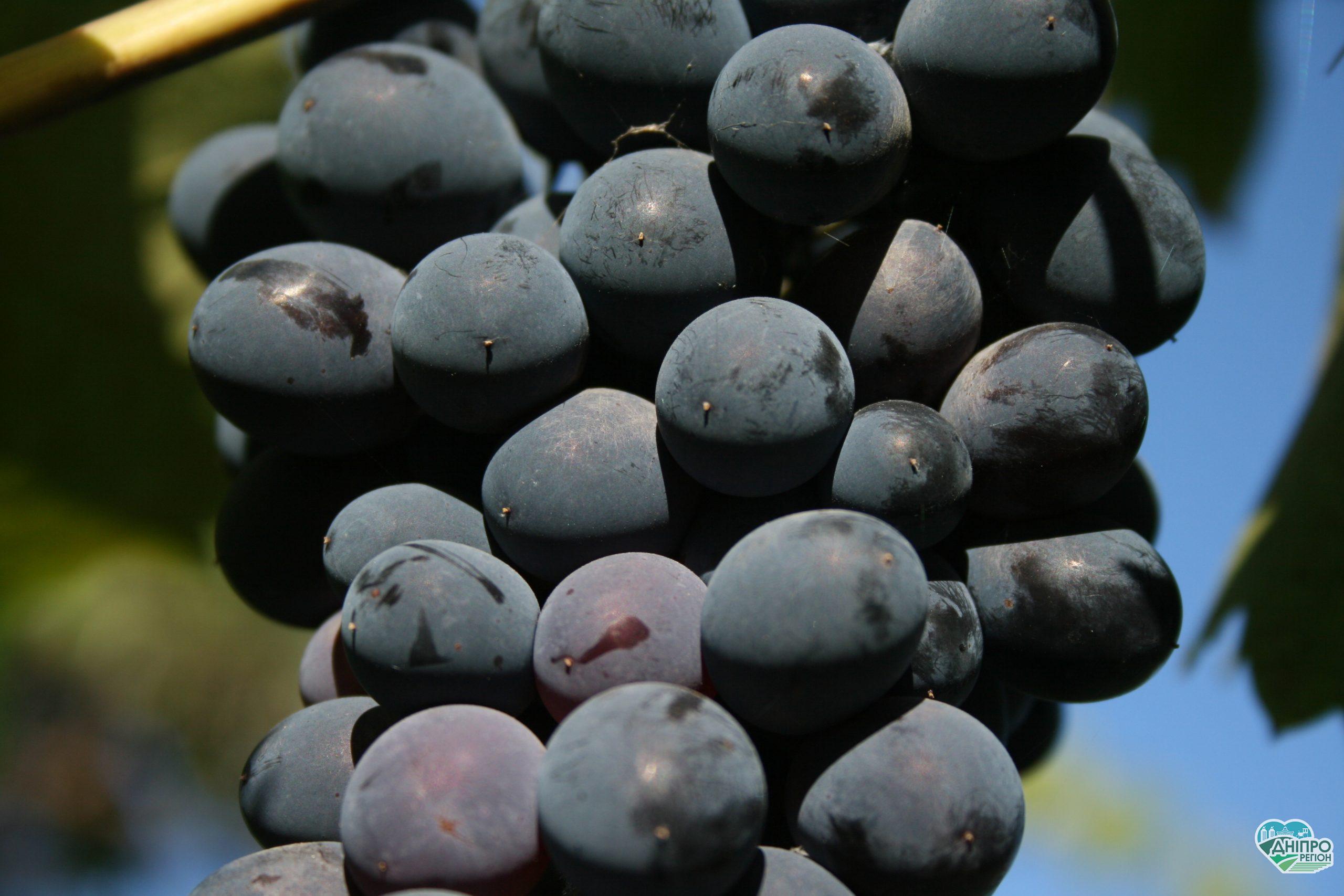 Картофелеводы и виноделы Днепропетрощины могут получить помощь от государства