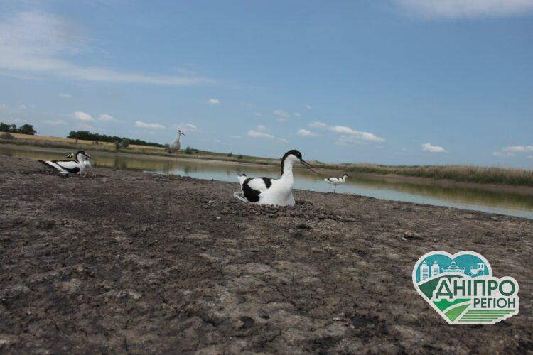 На Дніпропетровщині оселилися червонокнижні птахи, яких за 40 років спостережень побачили вперше