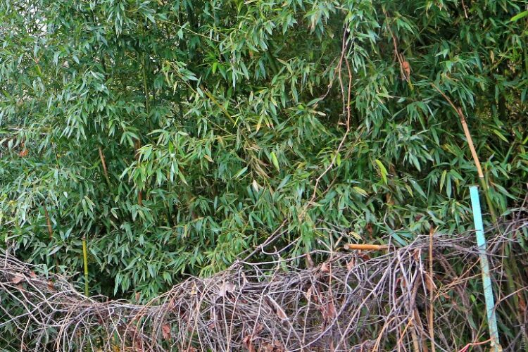 Бамбукові зарості в затишних двориках півдня України