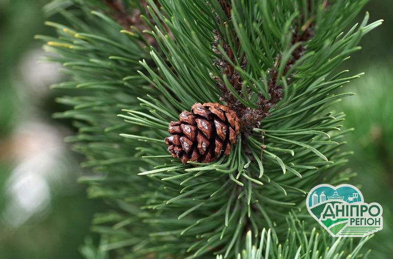 В лісах Дніпропетровщини з 10 грудня посилюють охорону хвойних дерев