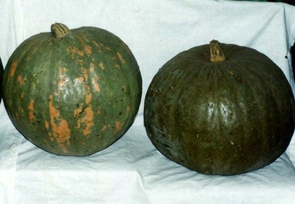 Що воно таке кавбуз: корисні властивості чудо-овоча