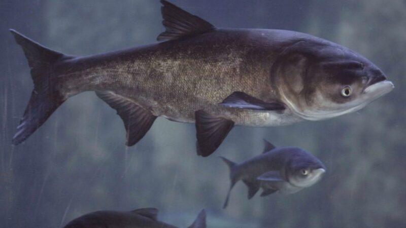 Новини Дніпра. На Дніпропетровщині «НІБУЛОН» поповнив рибні запаси річки Дніпро