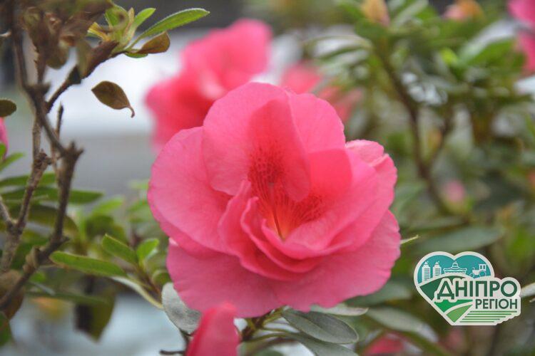 Рожеве свято серед зими: у Криворізькому ботанічному саду зацвіли азалії