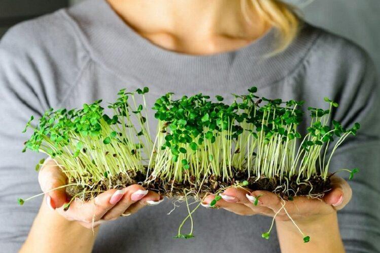 Як виростити мікрозелень вдома: правила вирощування мікрогріну