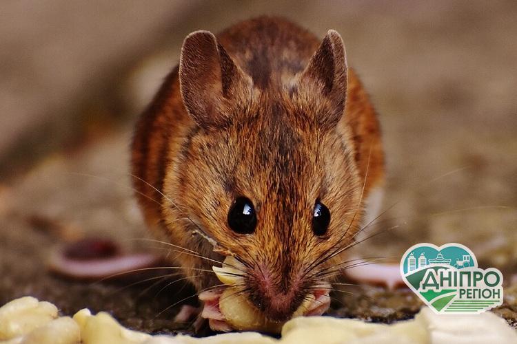 Мешканка Дніпропетровщини знайшла в пакеті гречки мертву мишу