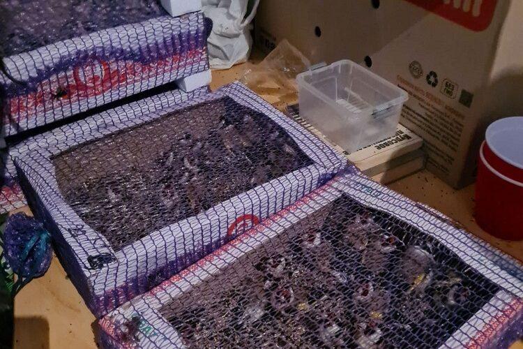 Держекоінспекція випустила на волю щигликів, конфіскованих у браконьєрів