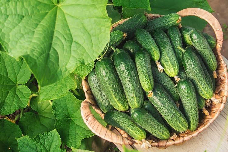 Огірок: дуже корисний овоч