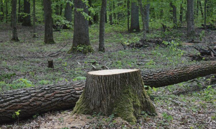На Дніпропетровщині судитимуть 3 особи, які незаконно рубали дерева