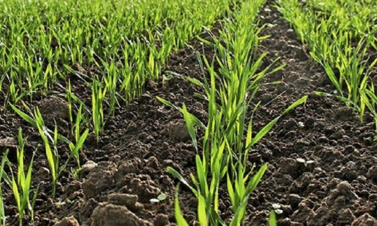 На Дніпропетровщині дали сходи майже 100% озимих