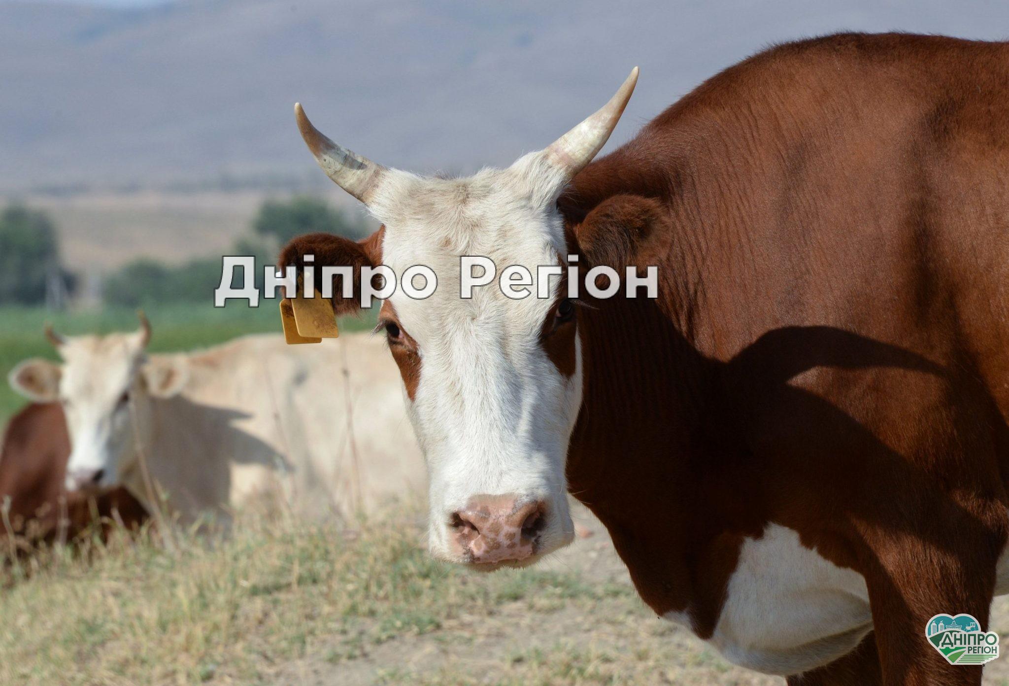 Богуславська корова із Павлоградщини, що плавала поруч із дітьми, стала зіркою соцмереж (ВІДЕО)