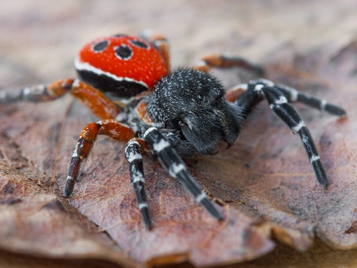 На Дніпропетровщині виявили найотруйнішого павука, який мешкає в Україні
