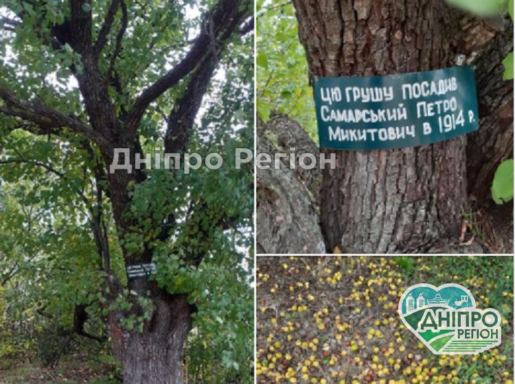 На Дніпропетровщині розповіли про родинну грушу, якій 107 років (Фото)