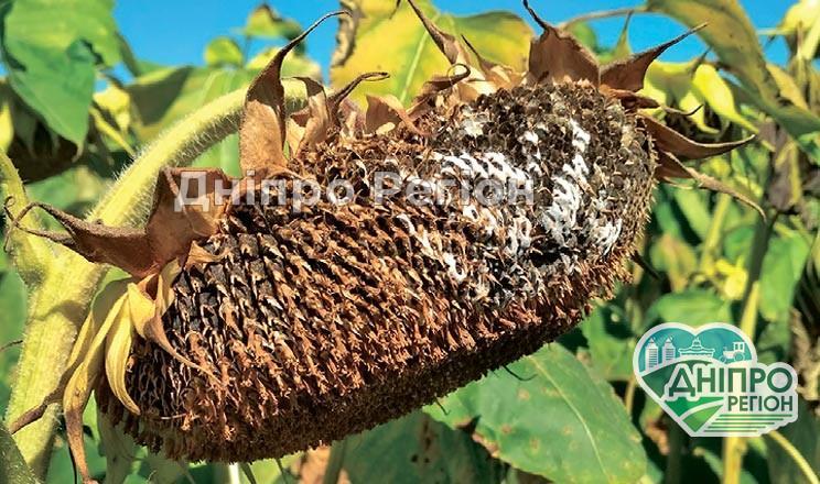 На Дніпропетровщині хвороби соняшнику розвиваються на необмолочених посівах