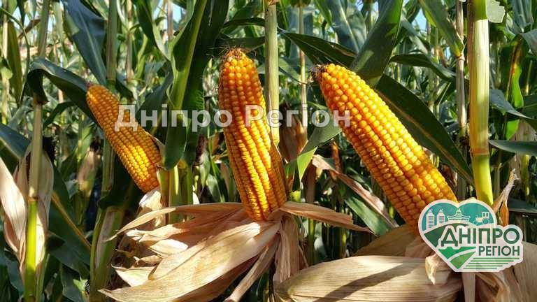 На Дніпропетровщині може загинути урожай пізньої кукурудзи