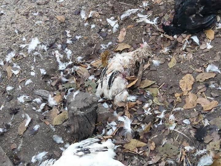 На Дніпропетровщині курей вбиває невідомий хижак (Фото)