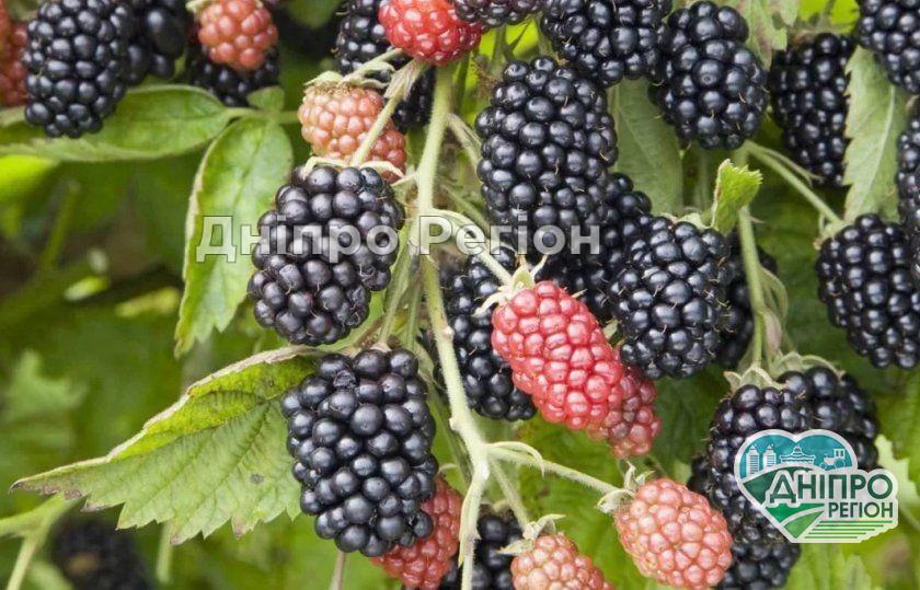 На Дніпропетровщині знаходиться найбільша плантація ожини в Україні