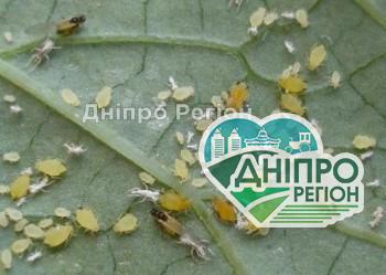До 70% сходів озимого ріпаку на Дніпропетровщині масово заселяють шкідники