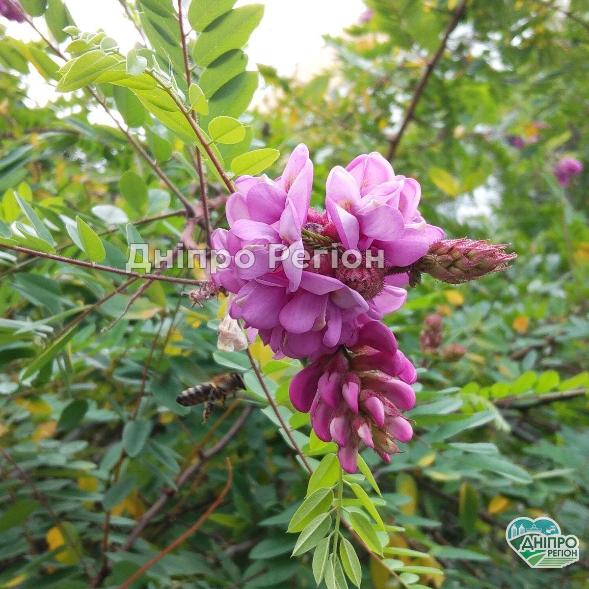 У Дніпрі на бульварі Слави цвіте акація (Фото)